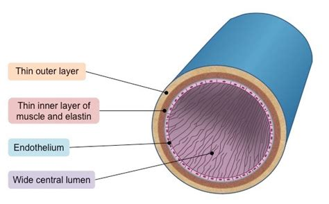 diagram of veins veins circulatory system