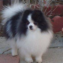 black and white pomeranian puppies for sale best 25 pomeranian husky grown ideas on