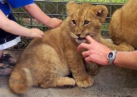 petting a next time you re tempted to pet a cub mzansi