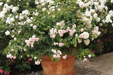 roses  pots ludwigs roses