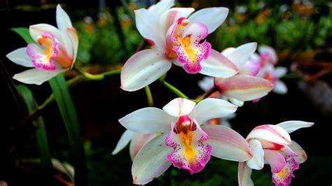 jenis jenis bunga anggrek  memperluas wawasanmu