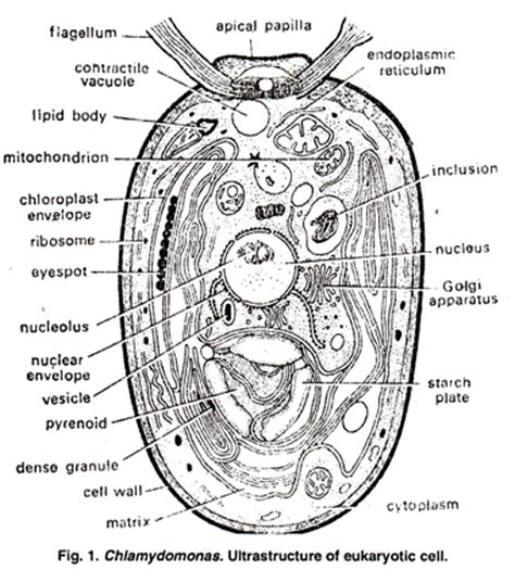 algal cell diagram ultrastructure of eukaryotic algal cell with diagram