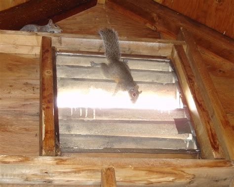 Squirrel In Ceiling by Do Not Block Cover Or Up A Squirrel S