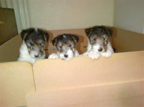 wire fox terrier puppies for sale wire haired fox terrier puppies for sale uk to wire haired breeds picture