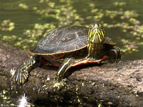western painted turtles the human footprint