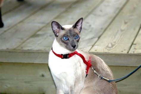 8 Reasons To Get A Siamese Cat 4 8 reasons to get a siamese cat lifestyle