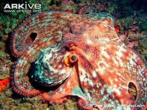 color of octopus common octopus photos and facts octopus vulgaris