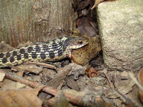 Garter Snake Eat Eastern Garter Snake Toad Explore Idiolector S