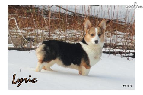 corgi puppies nyc corgi pembroke puppy for sale near binghamton new york c66e6905 c831
