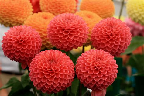 how to grow dahlias the perfect cut flower growing nicely