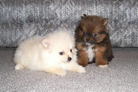 pomeranian brown pomeranian puppies brown