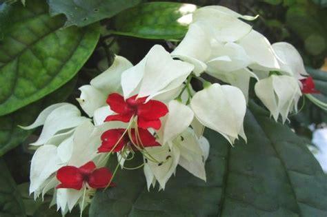 Biji Benih Bunga Bleeding 2 cara menanam dan merawat bunga nona makan sirih dengan