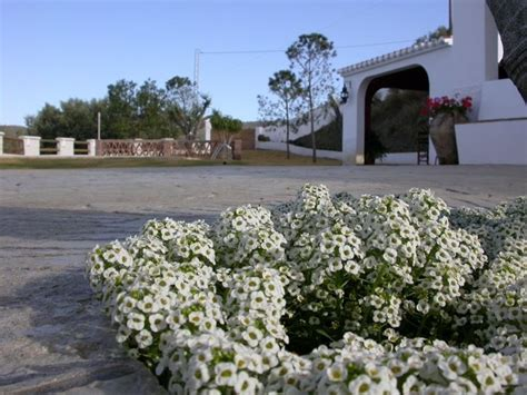 alisso fiore alisso alyssum maritima alyssum maritima piante