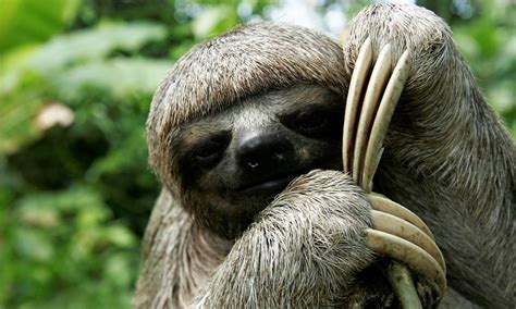 why are sloths slow and six other sloth facts stories wwf