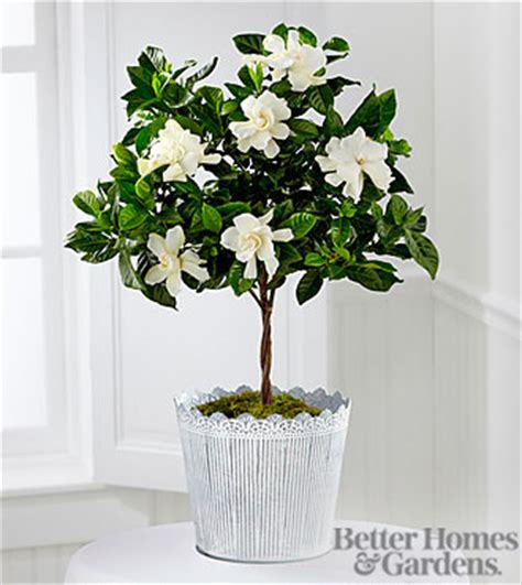 Gardenia House Plant The Ftd 174 Blooming Tranquility Gardenia Plant By Better