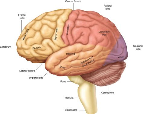 Major structures of the brain.   Biology Forums Gallery