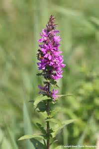 Purple loosestrife lythrum salicaria pei invasive species council