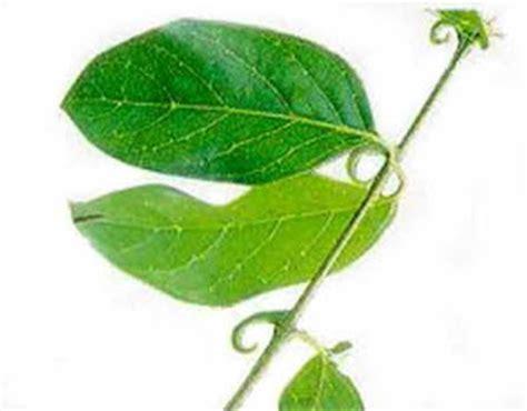 plantas medicinales descripcin y 8475565786 plantas medicinales u 241 a de gato descripcion y usos medicinales