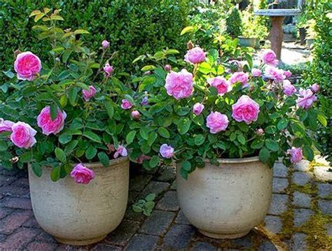 Pot Gantung Mawar dunia tanaman hias tips menanam bunga mawar dalam pot