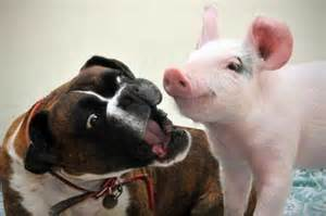 video how an abandoned pig and a rescued dog became best