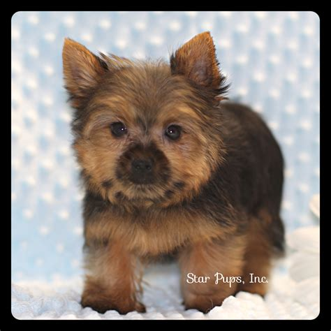 yorkie black and terrier m black and sold pups