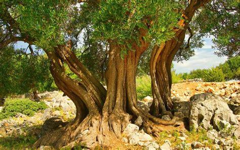Trees Lapar lunjski maslinici