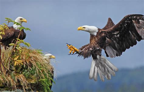 eagle facts 20 interesting information you should know