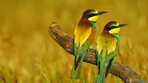 bee eater wallpapers first hd wallpapers free best pictures bee eater birds 1366x768 hd wallpapers