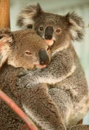koalas pictures  images