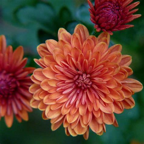 17 best ideas about november flower on pinterest best 25 chrysanthemum tattoo ideas on pinterest
