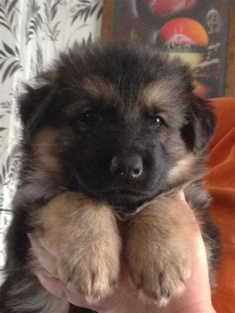 german hair puppy adorable chunky haired german shepherd pups retford nottinghamshire pets4homes