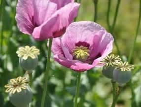 Opium buy opium poppy seeds papaver somniferum herbal fire botanicals