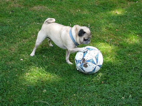 pugs are 10 reasons why pugs are the best breeds
