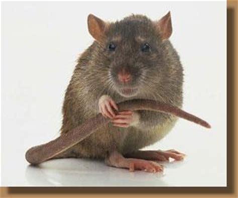 Rodent Meme - wanderingstar krafttier ratte