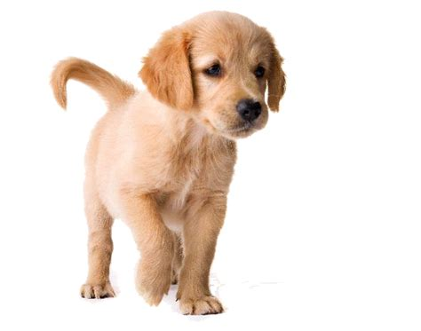 choosing a golden retriever puppy png golden retriever transparent golden retriever png images pluspng
