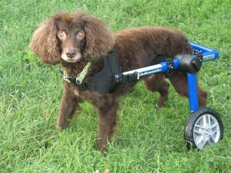 when is a no longer considered a puppy walkin wheels wheelchair happy customers flickr