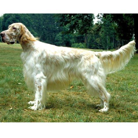 english setter pointer dog breeds 29 best favorite breeds of dogs images on pinterest