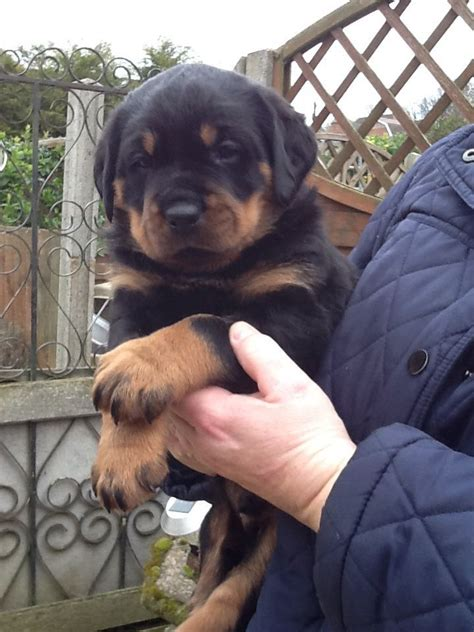rottweiler breed council rottweiler puppies 40 years experience in breed corby northtonshire pets4homes