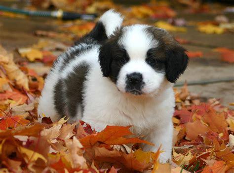 puppy bernard file st bernard puppy jpg