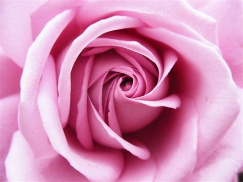 imagenes rosas color fotos de color rosa