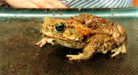 are toads poisonous to dogs poisoned by bufo toad a warning for pet owners tbo