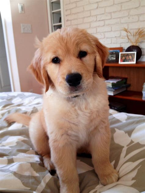 golden retriever puppy golden retriever the things