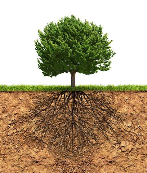 Good Christmas Tree Roots #2: Tree-roots.jpg