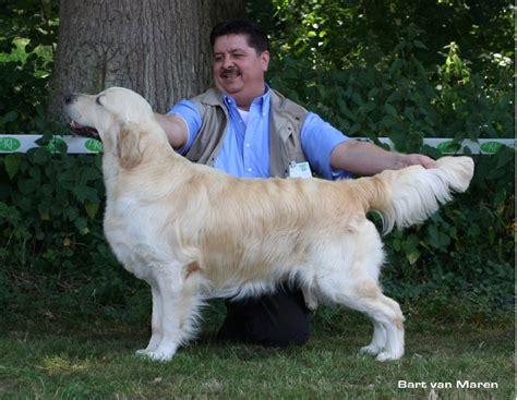dewmist golden retrievers ch dewmist satellite chien de race toutes races en tous departements inscrit