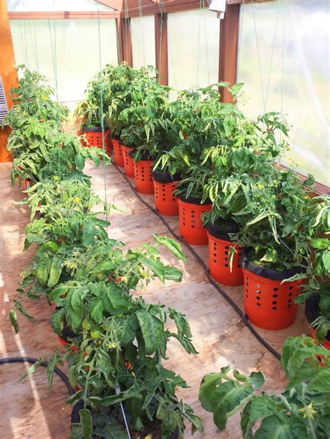 how to grow tomato plants in buckets home design garden
