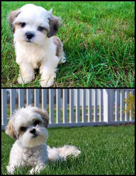 1000 images about barkley shih tzu hair cuts on pinterest 1000 ideas about shih tzu maltese mix on pinterest