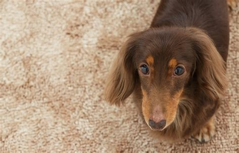 dogs marking in the house 6 tips to stop your dog from marking in the house the how to dog blog