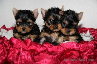 teacup yorkie puppies for sale in el paso terrier teacup yorkie puppies 402 387 4600 dogs buy or for sale price