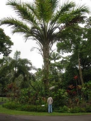 elaeis guineensis  tropical plants