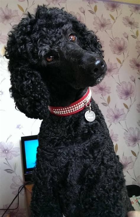 french poodle haircut pictures 256 best images about poodles doodles on pinterest
